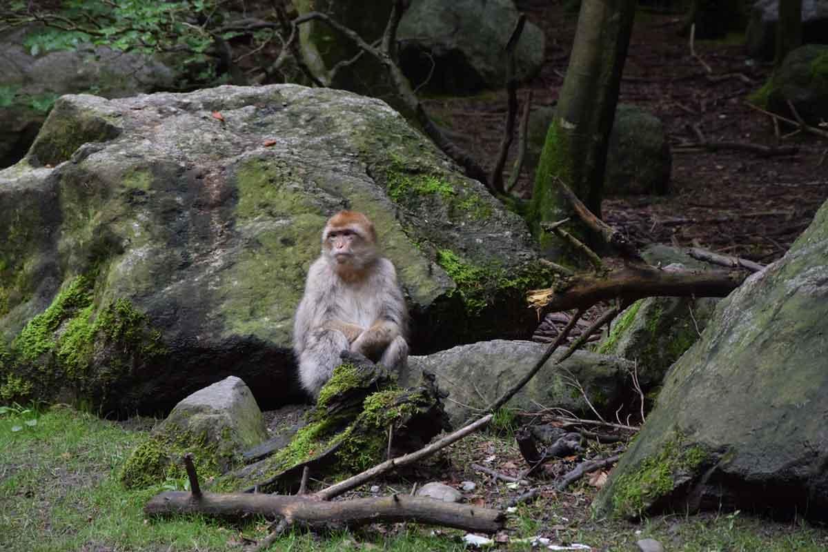 Affe auf Felsen