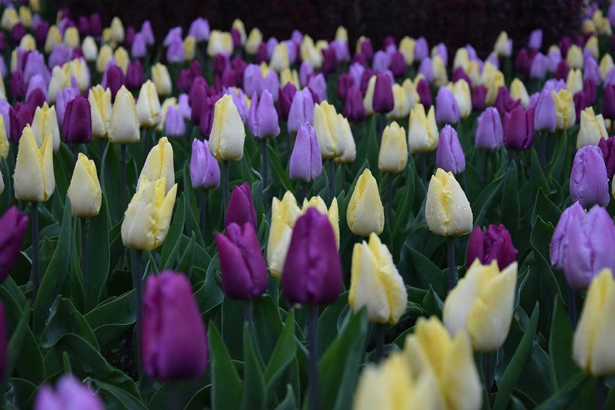Tulpen vor der Blüte